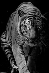 Fototapete - Black and white Tiger portrait in front of black background