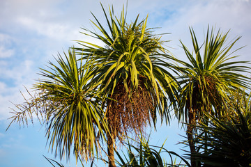 Palm leaves against the blue sky in the tropics