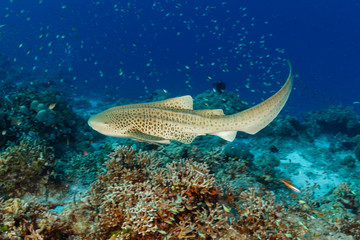 Wall Mural - A beautiful Zebra (Leopard) Shark on the sea floor near a tropical coral reef in Asia