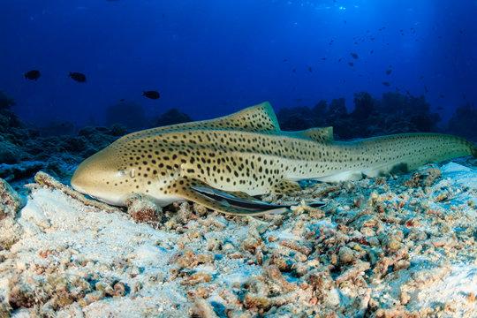 A beautiful Zebra (Leopard) Shark on the sea floor near a tropical coral reef in Thailand