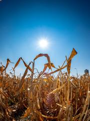 Sonne brennt auf ein durch Trockenheit verdorrtes Maisfeld