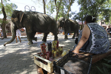 Elephants from a local circus walk before taking a bath in the waters of the Black Sea in Yevpatoria
