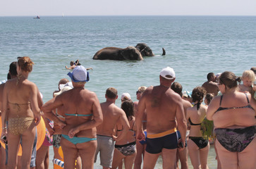 Elephants from a local circus bathing in the waters of the Black Sea in Yevpatoria