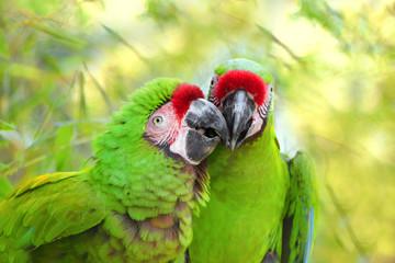 Pair great green military macaw (Ara militaris mexicana) portrait