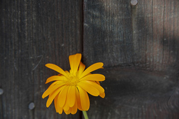 FLOWERS - calendula against the background of old brown boards