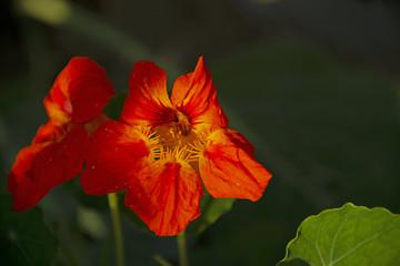 RED FLOWERS - dark-green background