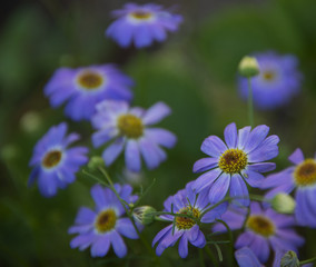 FLOWERS - violet camomiles