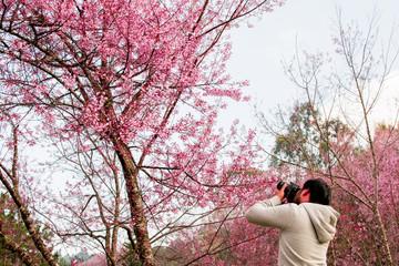 Chiang Mai, Thailand Date 14-Jan-18 Tourists are taking photos Wild Himalayan Cherry