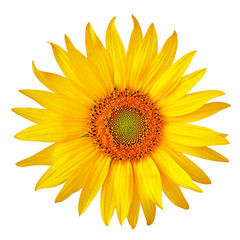 flower yellow orange sunflower, isolated on a white  background. Close-up. Element of design.