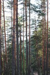 Pine forest landscape. Coniferous wood trees. Summer romantic nature.