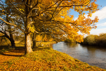 Beautiful, golden autumn scenery with trees and golden leaves at the river in the sunshine in Scotland