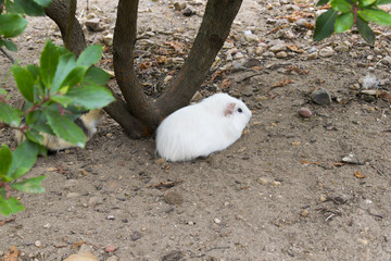 White guinea pigs rest at the foot of a laurel Belonging to the family of Caviidae and originating from the Andean cordillera Despite their name, given by the conquistadors who were mistaken continent