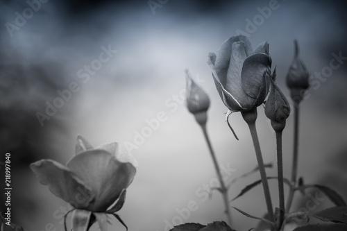 Fleur Rose De Couleur Rouge En Ete En Noir Et Blanc Dans Un Jardin