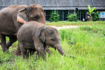 Baby Tropical Asian Elephant and Mom in elephant nursery camp at Chiang mai, thailand