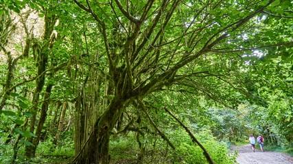 Tourist trail in yew-boxwood grove in Sochi