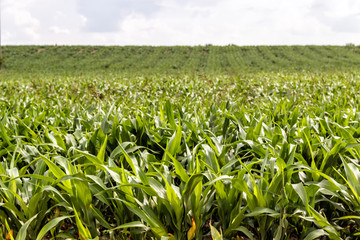 field of young corn. Farmer's agriculture.