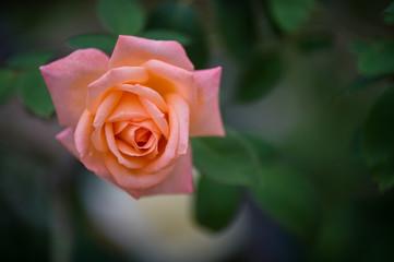 fleur rose de couleur jaune et rose dans un jardin sur fonds sombre en été en plan rapproché