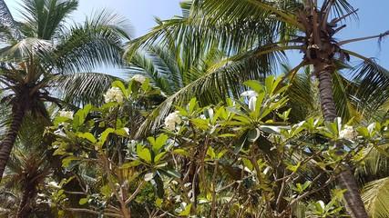 frangipani and palms