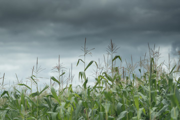 Dark cloud sky over the corn field