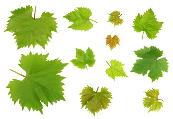 Grape leaves isolated on white background top view