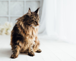 Wall Mural - Maine Coon cat sitting on white background