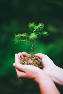 Female hand holding sprout wilde pine tree in nature green forest. Earth Day save environment concept. Growing seedling forester planting