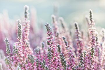 Heather frozen flowers. Bright natural cyan background.