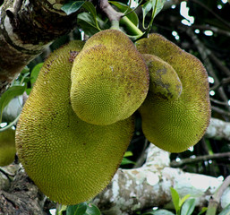 a group of jack fruit