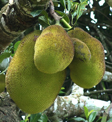 jack fruit in a tree