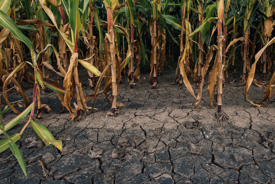 Cornfield and dry mudcracked land