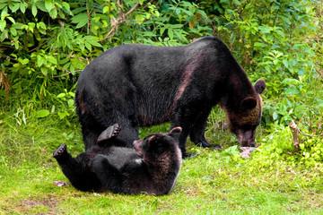 Grizzly Bear Cub at Fish Creek, Alaska, USA