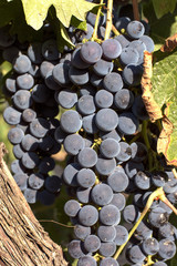 Merlot grapes on the vine August 2018