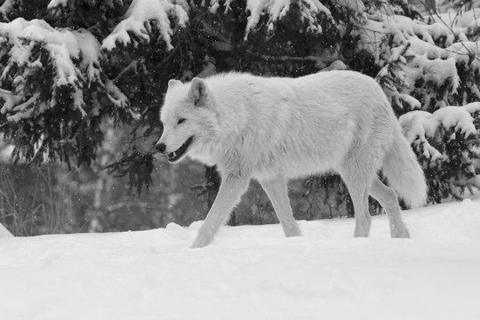 White wolf in winter forest