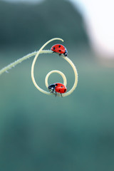 two beautiful little ladybugs crawling on a winding blade of grass on a bright green summer meadow