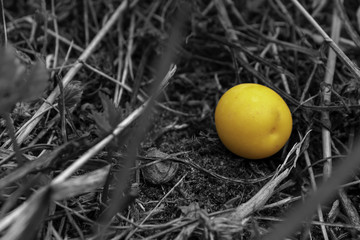lonely yellow plum in black and white grass