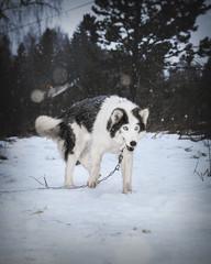 Siberian husky dog chewing on ice