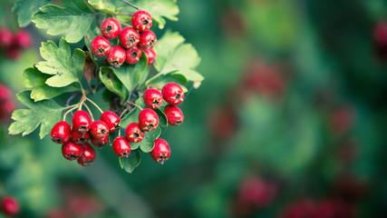 Poster Nature Prachtige rode meidoorn bessen op een diffuse achtergrond