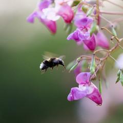 Een bij op zoek naar honing
