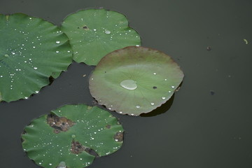 Wassertropfen auf Seerose