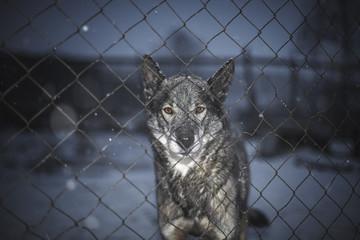 Alaskan Husky/Sled dog standing behind fence