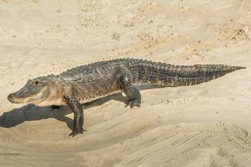 Alligator in the sand