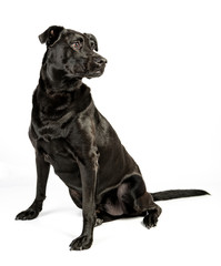 Portrait of Black Lab Terrier Mix Dog Looking to the Side Isolated on a White Background