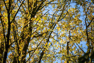 Autumn in the trees starting to lose their foliage on a bright sunny day showing the radiant colours against a blue sky