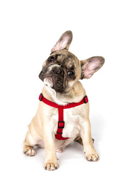 Portrait of Sitting Fawn French Bulldog with His Head Tilted to the Side, Looking at Camera, Isolated on a White Background