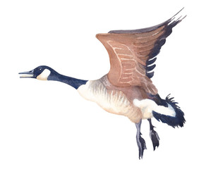 Watercolor sketch of Flying Canada goose on a white background.