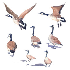 Hand drawn set of Canada geese on a white background.