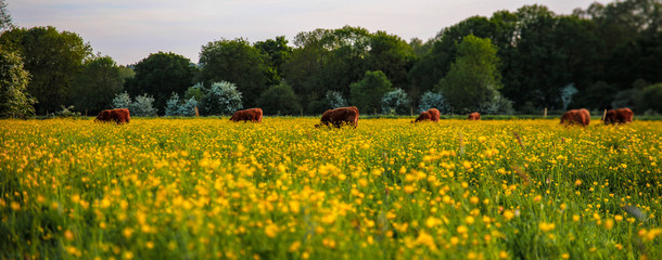 Canvas Prints Honey Cattle Grazing In The Meadow