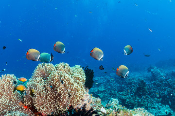 Colorful tropical fish swarming around hard and soft corals on a tropical reef in Thailand