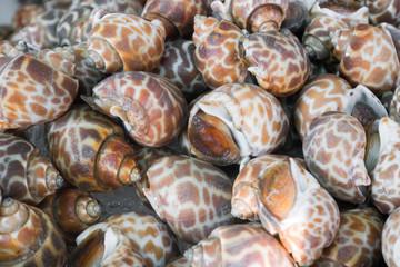 spotted babylon shell in thai market