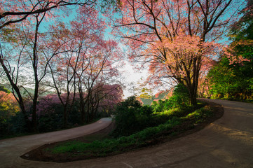 View of turning pin point on mountain road with sakura tree along the way and sun shining in early morning.